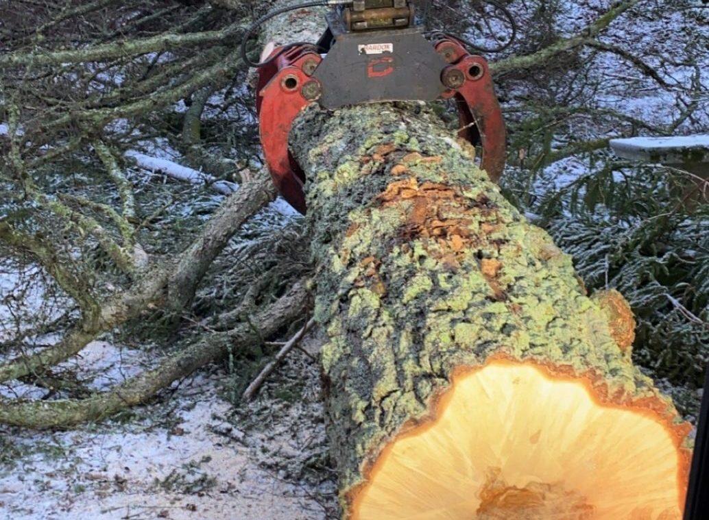 Felling av trær på Hankø post thumbnail